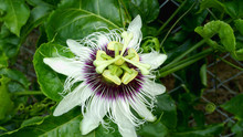 Passion Fruit Flower In Nutare Background