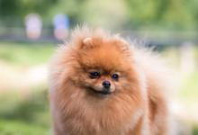 Beautiful Pomeranian Dog Posin...