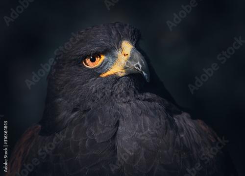 Golden Eagle Portrait Wallpaper Mural