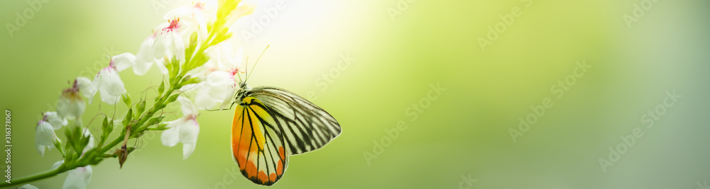 Fototapeta Beautiful nature view of butterfly on blurred background in garden with copy space using as background natural animal landscape, fresh cover page, butterflies day concept.