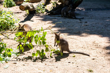 Young Wallaby Eating Leaves, H...