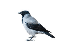 Hooded Crow, Isolated On White Background