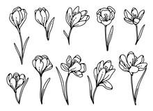 Crocus Flower Spring Primroses Set Outline Black White Sketch Illustration.