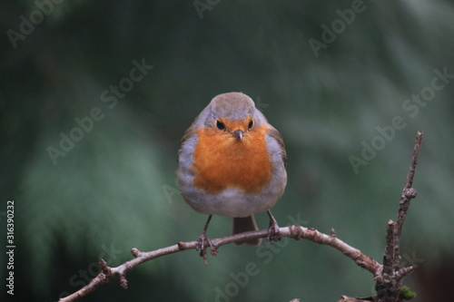 robin perched on a branch Wallpaper Mural