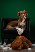 Bad Dog Spoils The Toy. Nova Scotia Duck Tolling Retriever Plays At Home. Pet Spoils Things