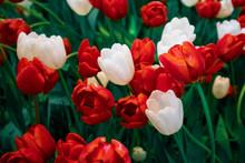 Escape Triumph Tulip Flowers In Red And White