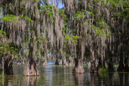 Photo Bald cypresses in Lake Martin, Louisiana