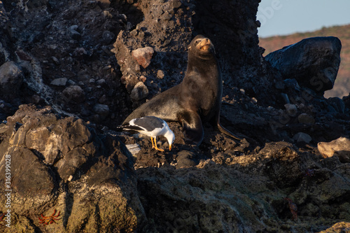 the proud sealion on the rock of the sealions in Baja California Sur Mexico