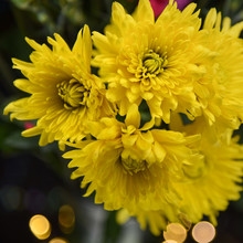 Yellow Mum Flowers Against Black Background With Bokeh Lights