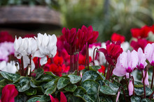 Winter Flowers: Cyclamen Flowe...