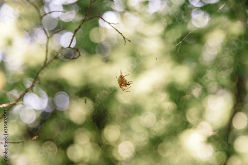 European garden cross spider with clearly visible web and space for text Wallpaper Mural