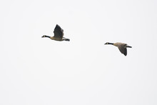 Canada Geese Flying With White Background Isolated.