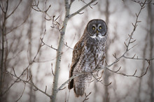 A Great Grey Owl Perched In A Tree On A Day In Winter