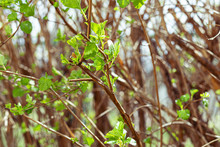 The Sprigs Of Spirea With The Blossoming Leaves In Spring.