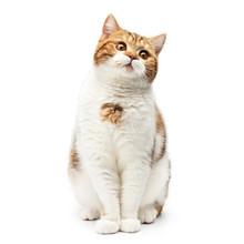 British Cat Sitting Isolated O...