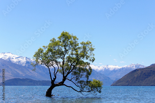 Fotografie, Tablou Lonely weeping willow tree in Wanaka Lake with clear blue sky, New Zealand, Sout