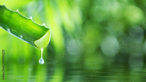 Dropping aloe vera liquid from leaf. Canvas Print