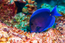 Blue Tang Fish Feeding