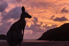 AUSTRALIA - Silhueta De Canguru Na Praia, Céu Alaranjado De Nascer Do Sol Deslumbrante.