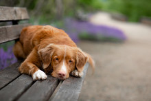 The Dog Lies On A Park Bench. Pet On Nature Against The Background Of Lavender. Nova Scotia Duck Tolling Retriever