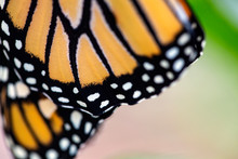 Closeup Of Freshly Emerged Monarch Butterfly Wings