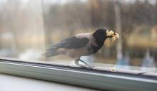 Crow Eats Bread Filling His Mo...