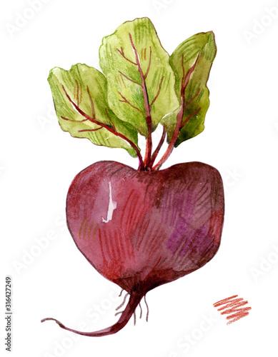 Fototapeta Watercolor illustration of beet isolated on white background.