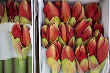 Unopened Buds Of Red Lily In Large White Boxes Are Laid Out With Paper For Sale On Market.