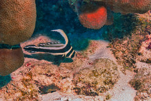 Adult Spotted Drum Fish Swimmi...