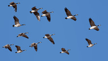 Canada Geese Flying In Clear Sky