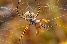 Beautiful Spider Feasting Gras...