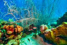 Blackbar Soldierfish Swimming ...