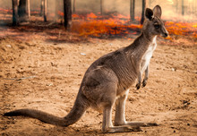 Baby Kangaroos From Australia Saved During The Forest Fire 2020