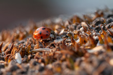 Bright Red Dotted Ladybug On R...