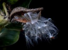 Milkweed Seed Pod Opening Up A...
