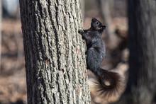 Black Squirrel Climbing Tree