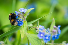 Bumble Bee On Siberian Bugloss...
