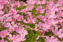 Pink Cosmos Bipinnatus Flowers (garden Cosmos Or Mexican Aster Or Click Cranberries) In Bloom