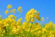 canvas print picture - Raps, eine gelbe Rapsblüte im Frühling -  a yellow rapeseed flower in spring
