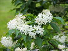 Caucasian Bladdernut Or Colchis Bladdernut During Flowering