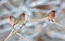 House Finch In Idaho In Winter...