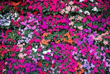 Petunia Wave Flower For Backgr...