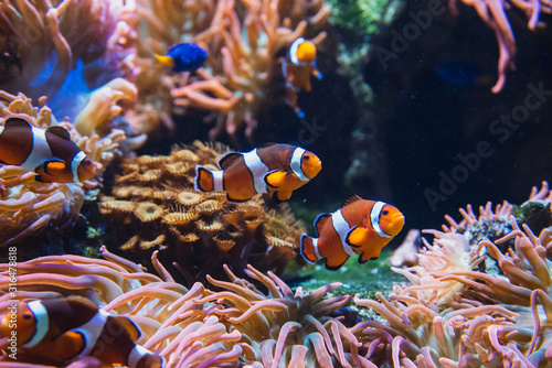 A picture of Clownfishes swimming in the aquarium Tablou Canvas