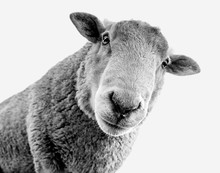 Black And White Female Sheep L...