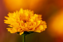 Coreopsis Golden Sphere Flowers