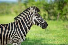 Zebra Standing Alert In The Sh...