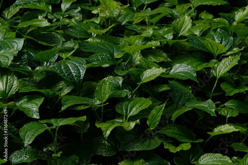 Betel leaves growth up in the garden. Wallpaper Mural