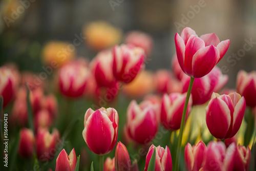 Fototapeta tulips