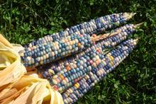 Colourful Food, Glas Gem Corn On The Cob Harvest, Rainbow Corn Laying On The Gras