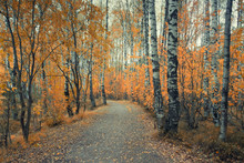 Path In A Birch Forest With Ye...
